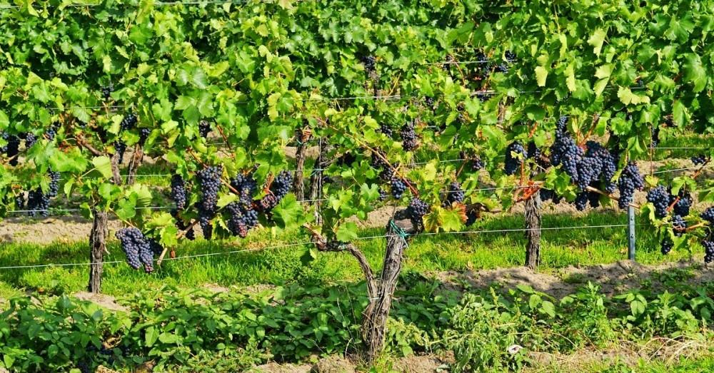 Trotz Flutwelle: Weinlese im Ahrtal