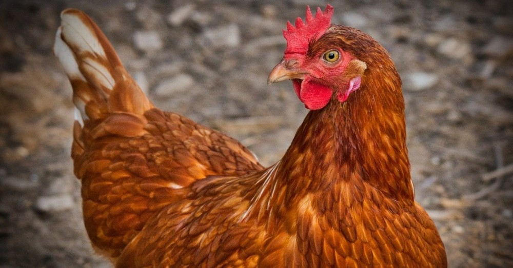 Hühner machen Altenheim-Bewohner glücklich