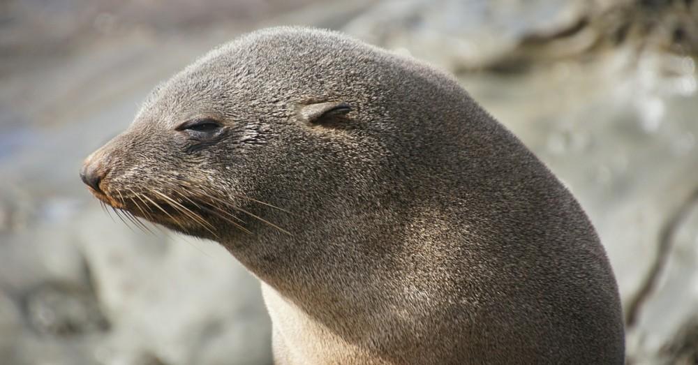 Küstenstraße wird für Seelöwin gesperrt