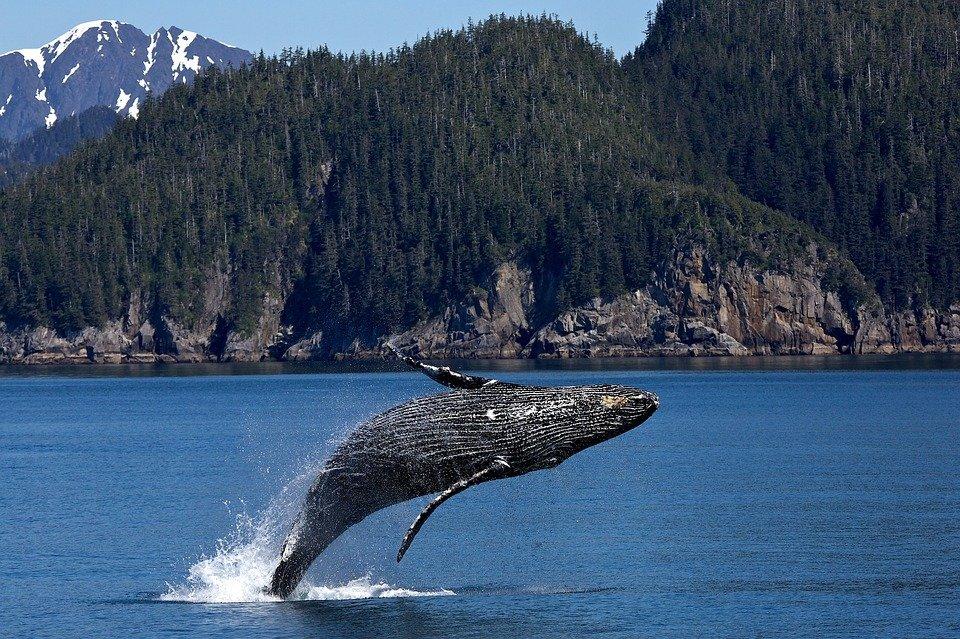 Buckelwal Bestand erholt sich