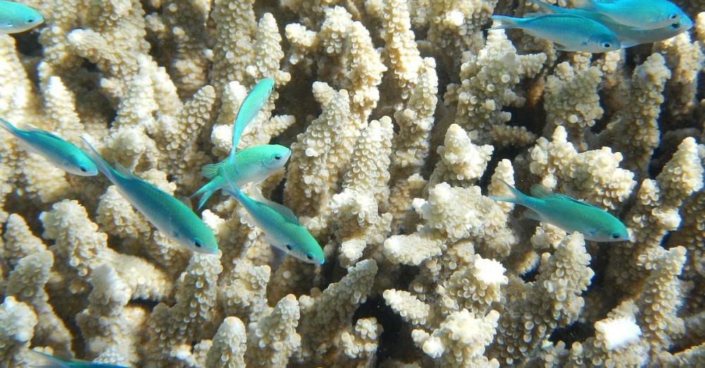 Riesenkoralle im Great Barrier Reef entdeckt