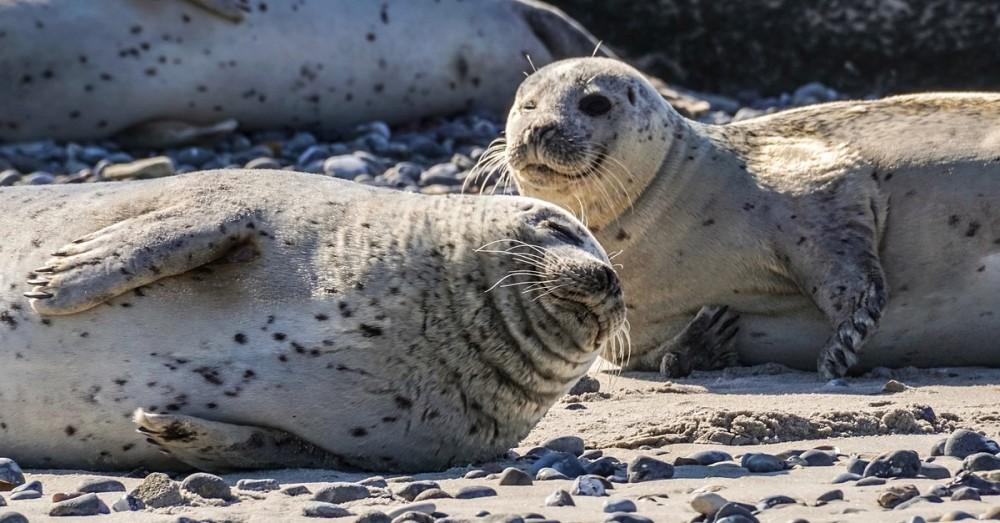 Erfolgreicher Naturschutz bringt Seehunde und Robben zurück
