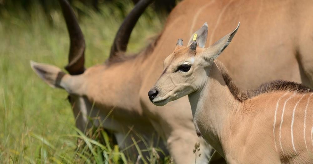 Saiga-Antilopen erholen sich wieder