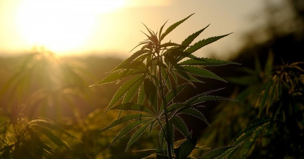 Cannabis als Krebstherapie