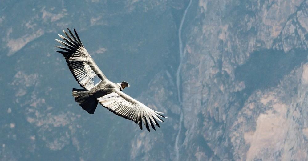 Kondor-Bestand hat sich erholt
