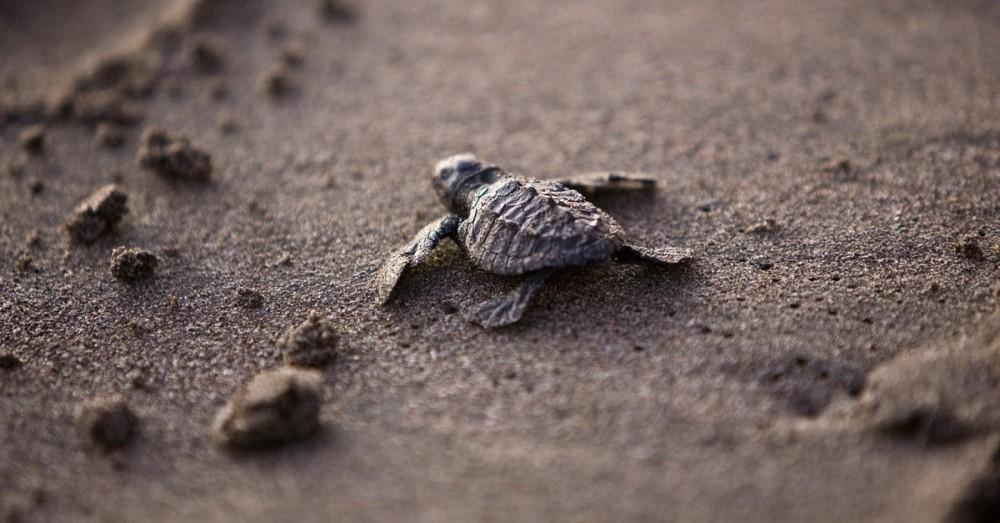 Bedrohte Schildkrötenart hat eigene Schutzpolizei