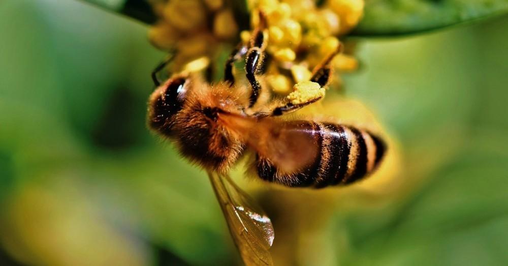 Kann das Gift von Bienen Brustkrebs heilen?