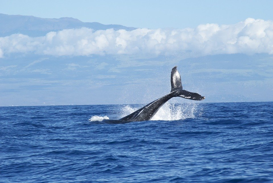 Walfang in Island wegen Corona gecancelt