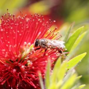 Verschollene Bienenart wiederentdeckt