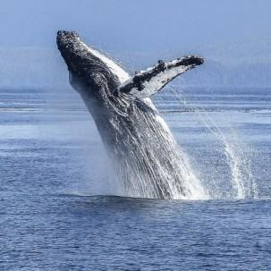 Rettungsaktion für gestrandete Buckelwale