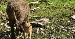 Auswilderung der kleinsten Wildschweinart geglückt
