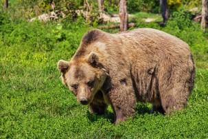 Kehren die Braunbären zurück nach Nordspanien?