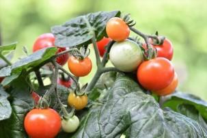 Gärtnerin rettet alte Tomatensorten