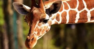 Giraffen-Rettung via Floss