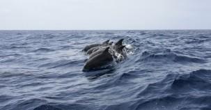 Wieder mehr Delfine in Hongkongs Gewässern