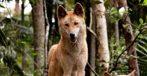 Verschollene Hochland-Dingos wiedergefunden