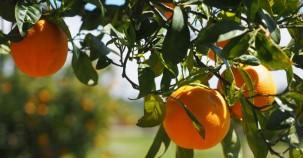 Strom durch reife Orangen