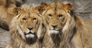 Keine Löwenzucht mehr in Gefangenschaft