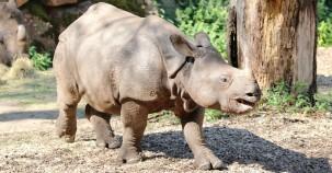 Nashörner Population wieder gestiegen
