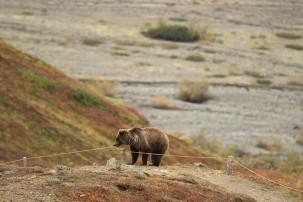 Grizzlybären bleiben auf der Liste der gefährdeten Arten