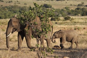 Kenias Elefanten-Bestand hat sich verdoppelt