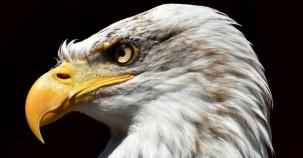 Population der Weißkopfseeadler hat sich vervierfacht