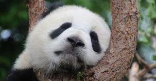 Der Pandabär gilt nicht mehr als gefährdet