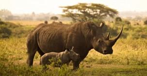 Im Jahr 2020 kein Nashorn gewildert